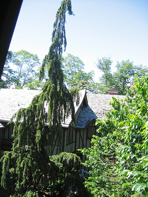 Tall weeping Norway Spruce and huge American Elm