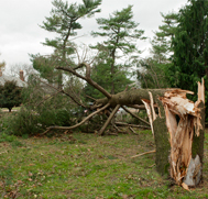 LIU Post Damaged Tree from Hurricane Sandy
