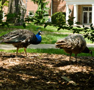 Peacocks on Campus Grounds