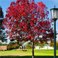 This October Glory Red Maple displays a brilliant red color in late October through November. It is located on the pathway heading east toward Humanities Hall.